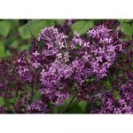Awesome Lilac Shrub Flower 71 For Your Home Decoration Ideas with Lilac Shrub Flower