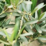 Awesome Olive Tree Plant 49 With Additional Designing Home Inspiration with Olive Tree Plant