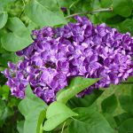 Cool Lilac Shrub Flower 25 For Your Home Decoration For Interior Design Styles with Lilac Shrub Flower
