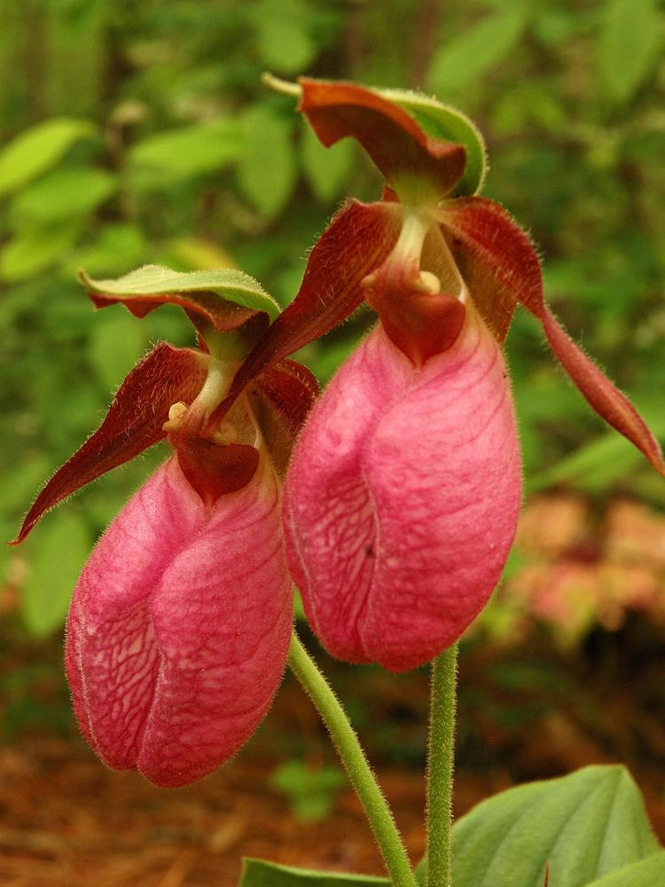 Cypripedium-acaule-Pink Lady's Slipper Flower