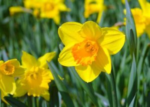 Daffodil Images Flower 17 with Daffodil Images Flower