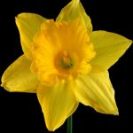 Daffodil Images Flower 71 with Daffodil Images Flower