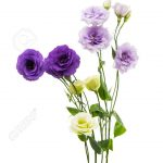 Eustoma Flower 16 with Eustoma Flower