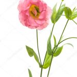 Eustoma Flower 43 with Eustoma Flower