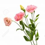 Eustoma Flower 70 with Eustoma Flower
