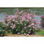 Fantastic Lilac Shrub Flower 60 For Interior Design Ideas For Home Design with Lilac Shrub Flower
