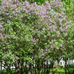 Fantastic Lilac Shrub Flower 63 For Inspirational Home Designing with Lilac Shrub Flower