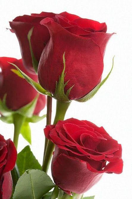 Friendship Rose Flower