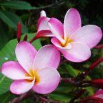 Hawaiian Tropical Flowers 16 with Hawaiian Tropical Flowers
