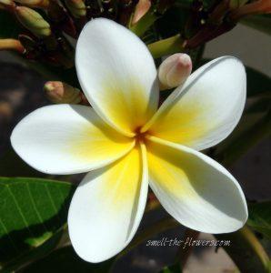Hawaiian Tropical Flowers 25 with Hawaiian Tropical Flowers