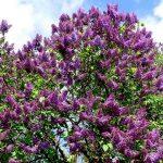 Lilac Shrub Flower 27 with Lilac Shrub Flower