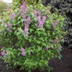 Lilac Shrub Flower 32 with Lilac Shrub Flower