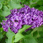Lilac Shrub Flower 33 with Lilac Shrub Flower