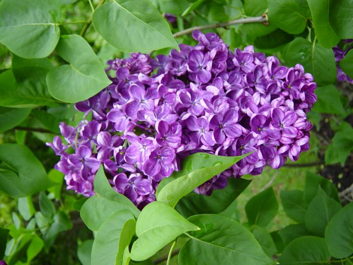 Lilac Shrub Flower 33 with Lilac Shrub Flower