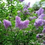 Lilac Shrub Flower 44 with Lilac Shrub Flower