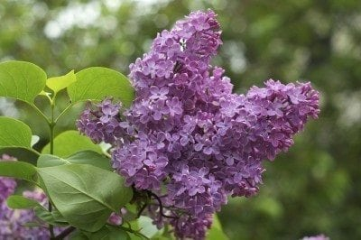 Lilac Shrub Flower 46 with Lilac Shrub Flower