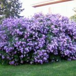 Lilac Shrub Flower 59 with Lilac Shrub Flower
