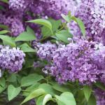 Lilac Shrub Flower 61 with Lilac Shrub Flower