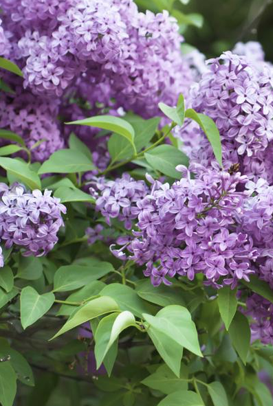 Lilac Shrub Flower 61 with Lilac Shrub Flower