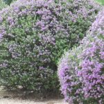 Luxurius Lilac Shrub Flower 91 on Home Designing Inspiration with Lilac Shrub Flower
