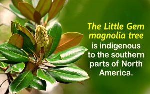 Magnolia Tree Care 27 with Magnolia Tree Care