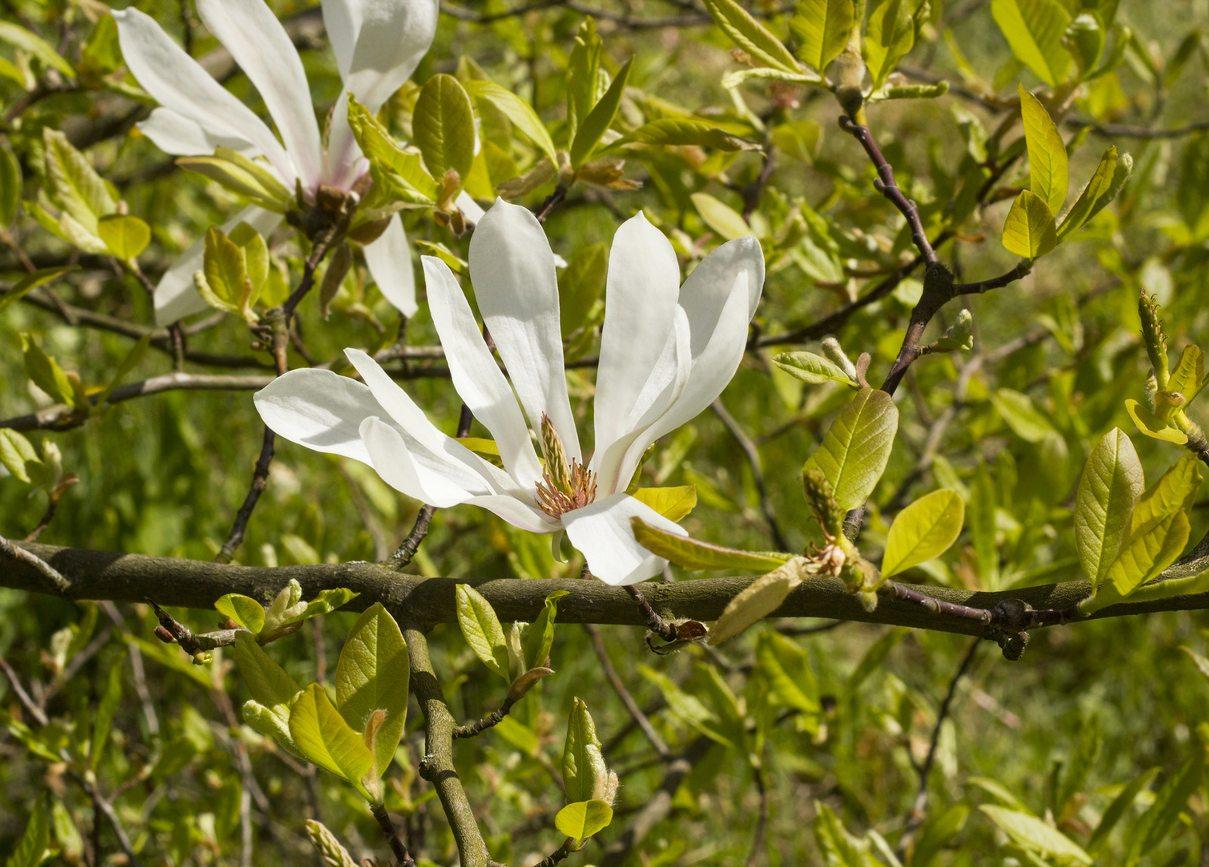 Magnolia Tree Care 31 with Magnolia Tree Care