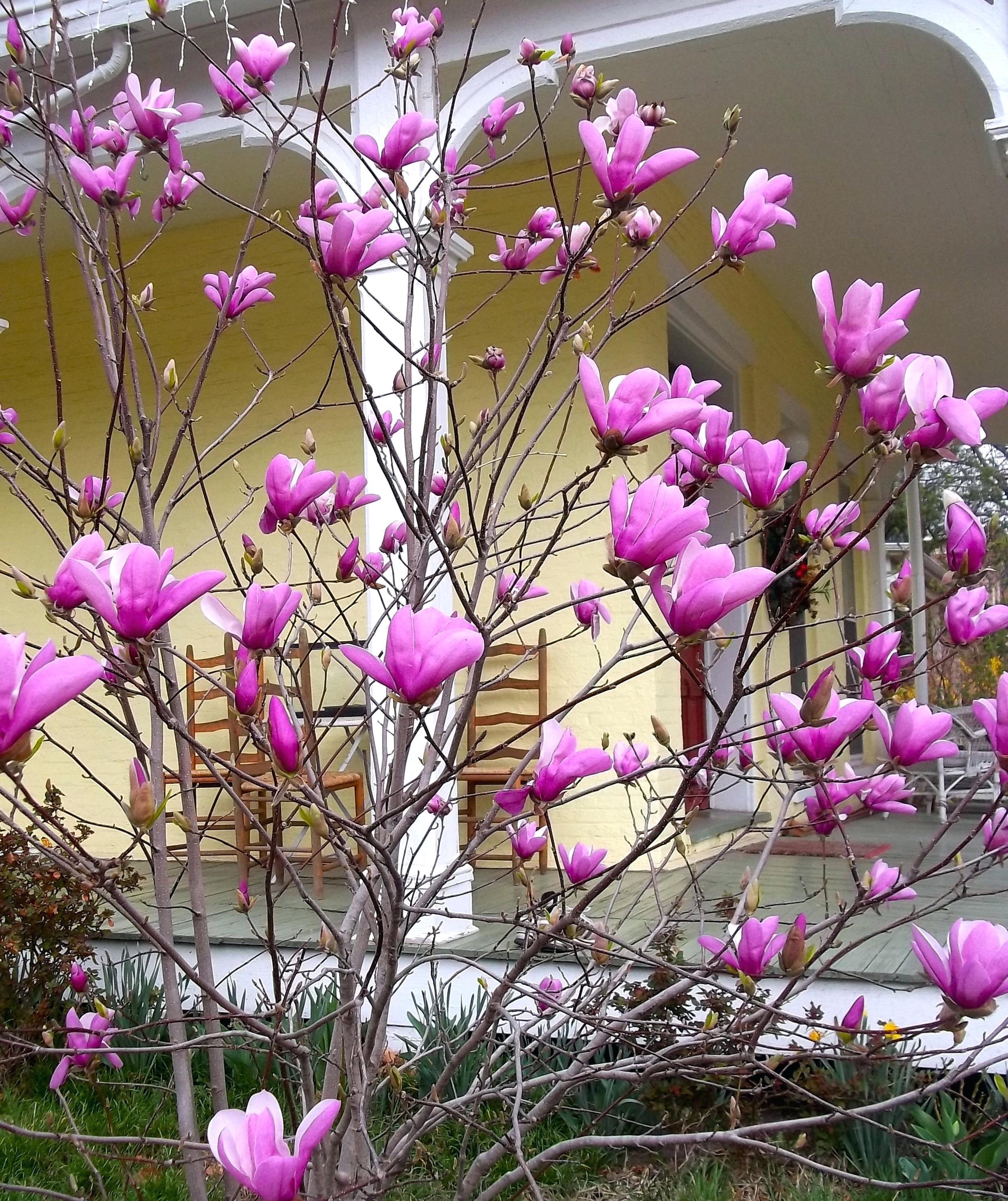 Magnolia Tree Care 44 with Magnolia Tree Care