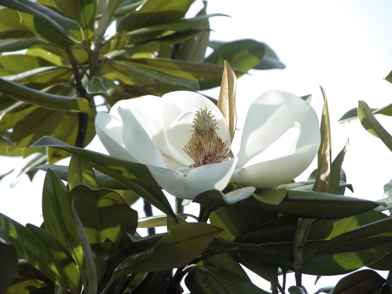 Magnolia Tree Care 50 with Magnolia Tree Care