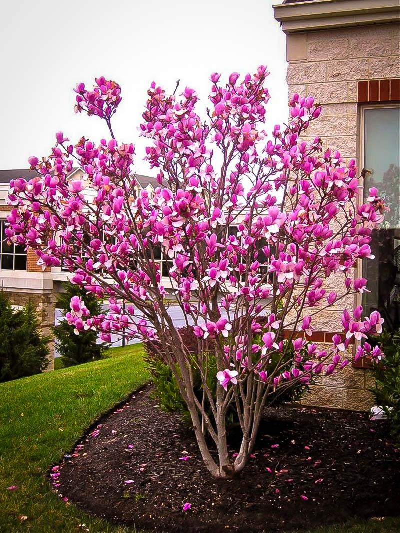 Magnolia Tree Care 56 with Magnolia Tree Care