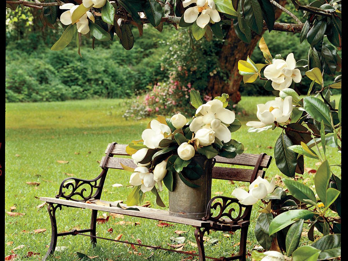 Magnolia Tree Care 58 with Magnolia Tree Care