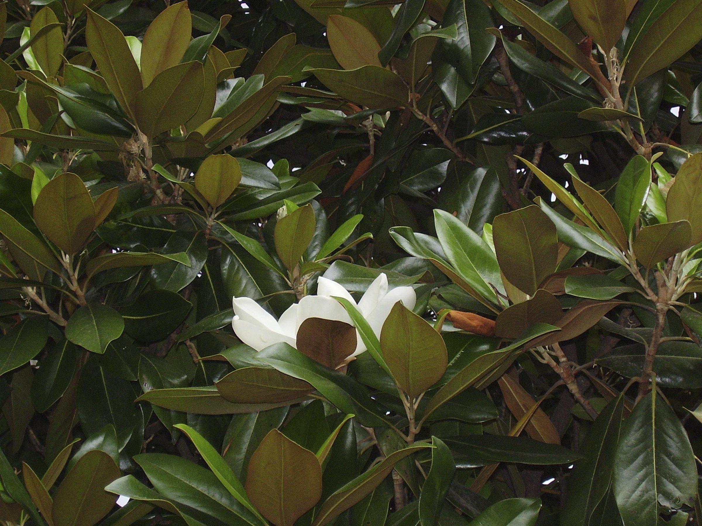 Magnolia Tree Care 80 with Magnolia Tree Care