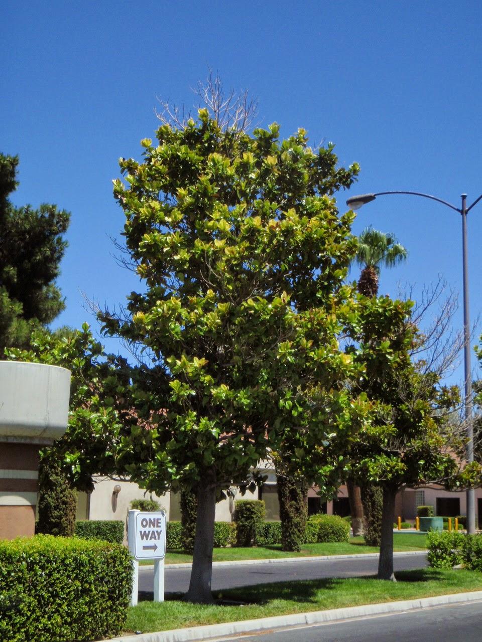 Magnolia Tree Care 85 with Magnolia Tree Care