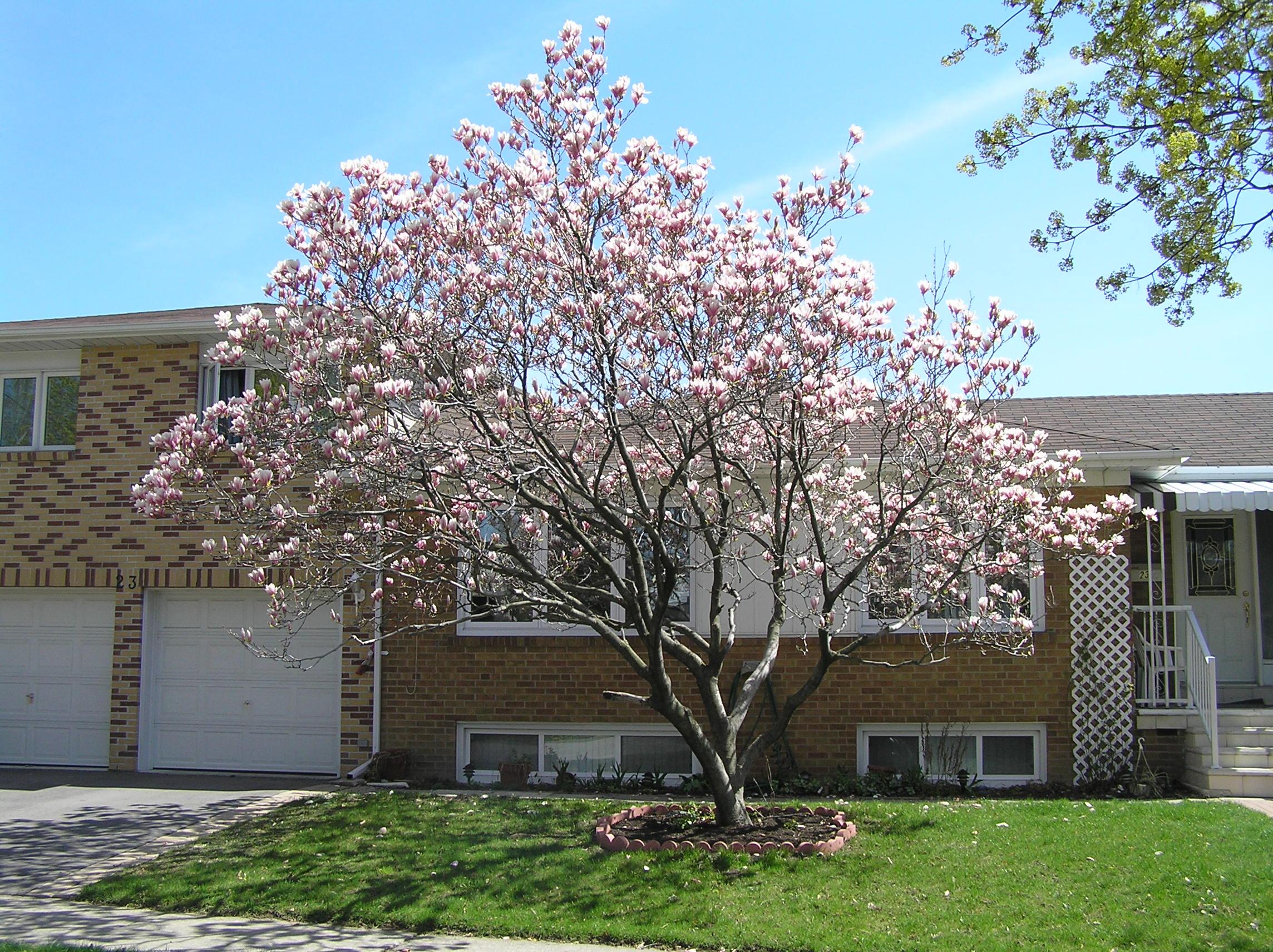 Magnolia Tree Care 89 with Magnolia Tree Care