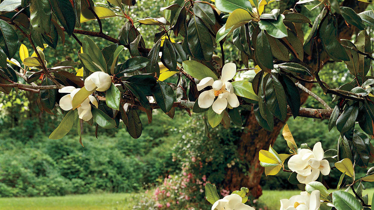 Magnolia Tree Care 96 with Magnolia Tree Care