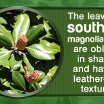 Magnolia Tree Facts 85 with Magnolia Tree Facts