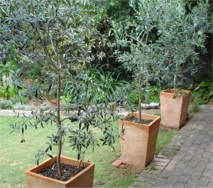 Olive Tree Plant 58 with Olive Tree Plant