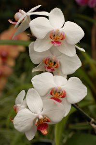 Orchid Flowers White 15 with Orchid Flowers White