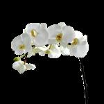Orchid Flowers White 39 with Orchid Flowers White