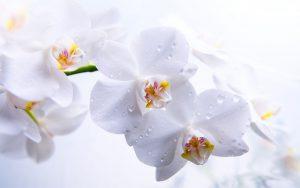 Orchid Flowers White 96 with Orchid Flowers White