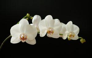 Orchid Flowers White 98 with Orchid Flowers White