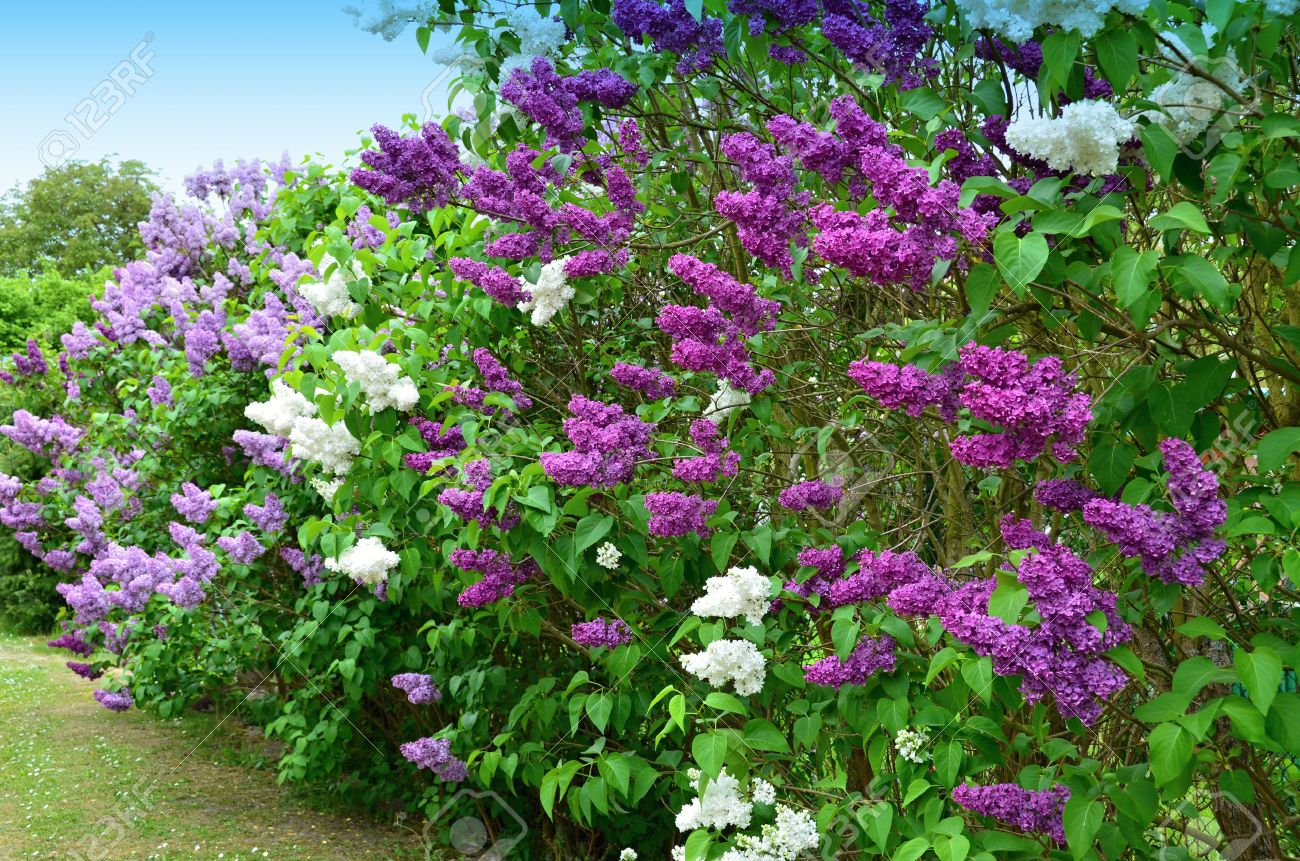 Stunning Lilac Shrub Flower 40 For Interior Designing Home Ideas with Lilac Shrub Flower