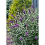 Top Lilac Shrub Flower 25 on Home Decoration Planner with Lilac Shrub Flower