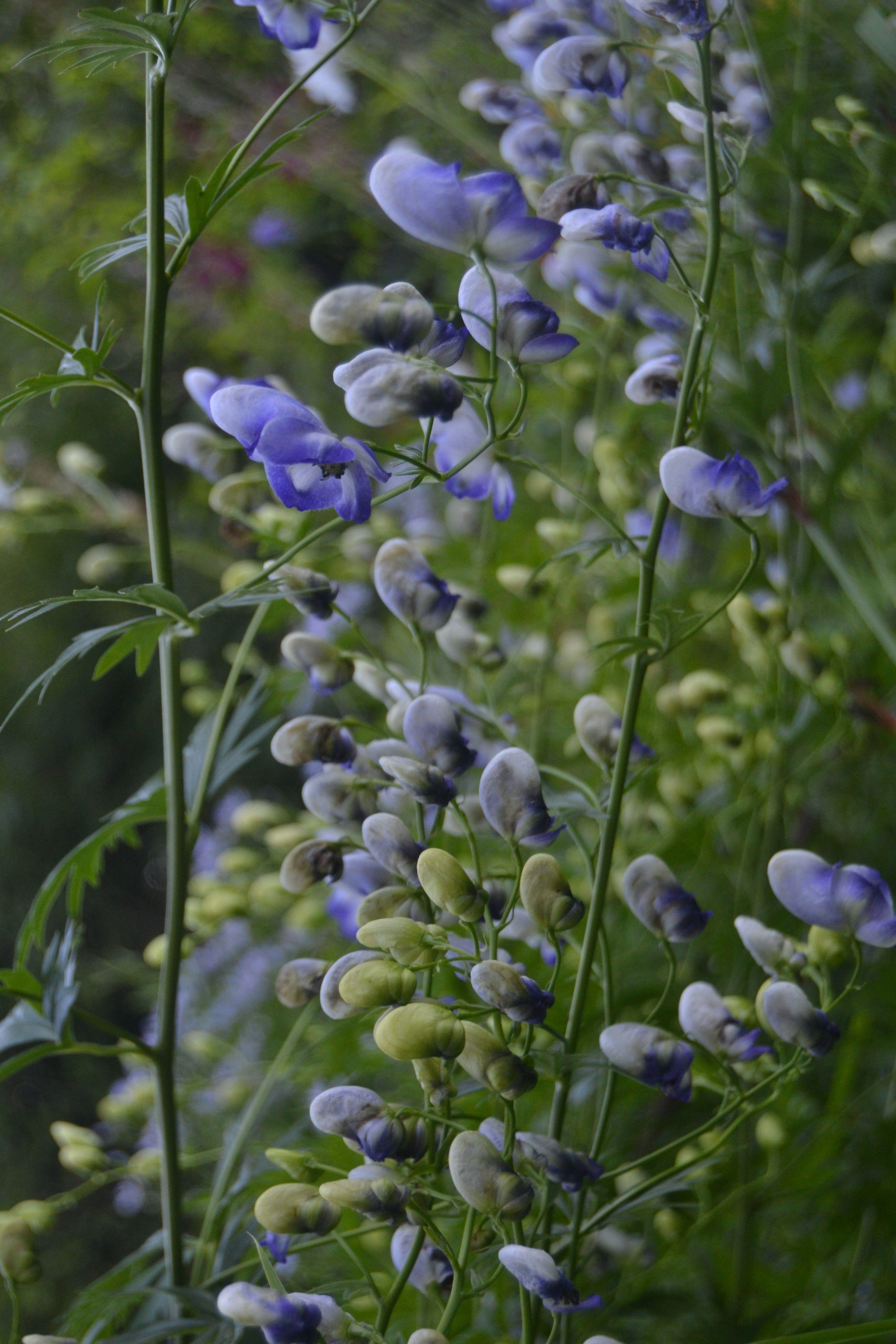 Aconitum stoerkianum bicolor kirjoukonhattu