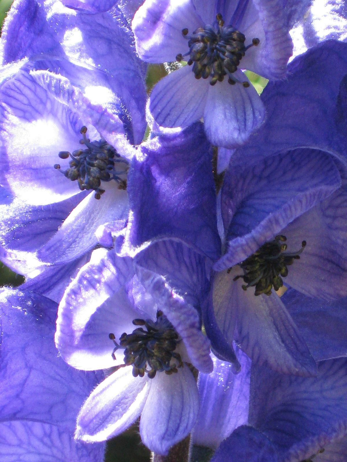 Ac²nit blau Aconitum napellus L subsp vulgare Rouy et Fouc Pic del Moro Font Romeu