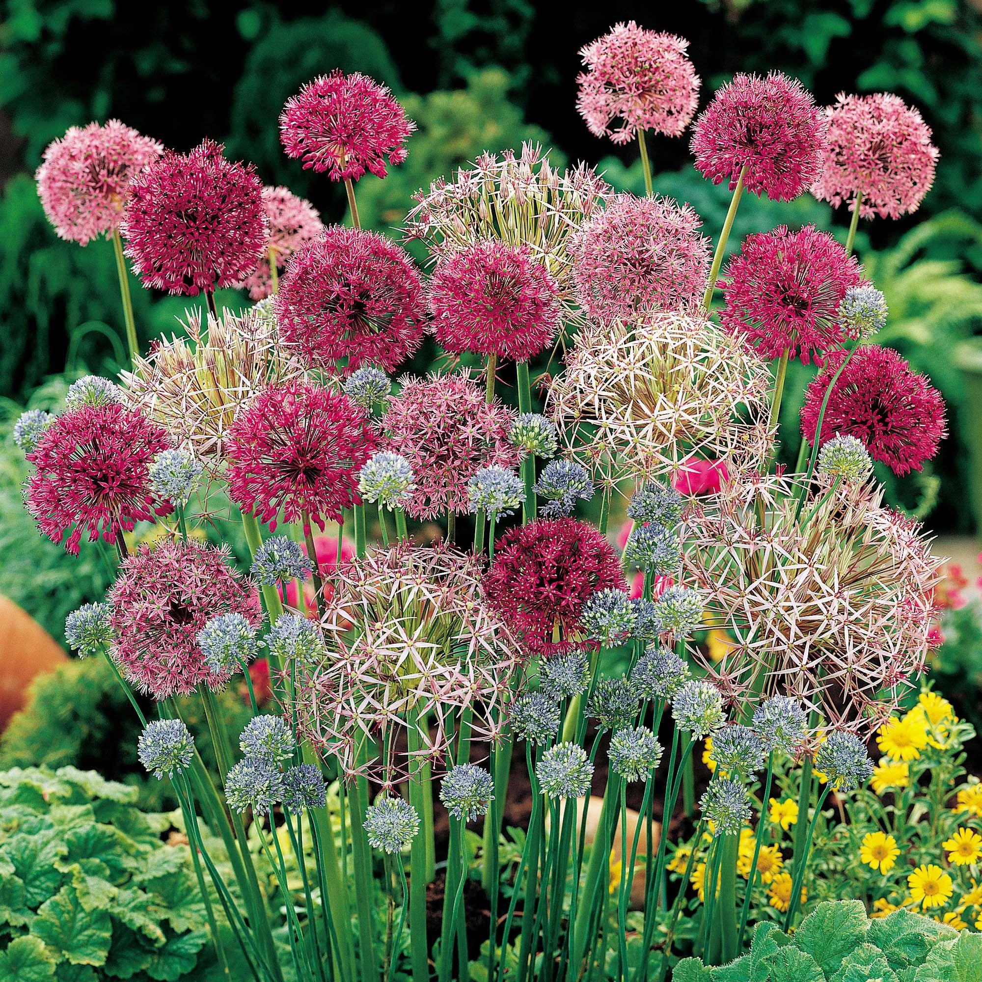 Allium Cottage Garden Collection