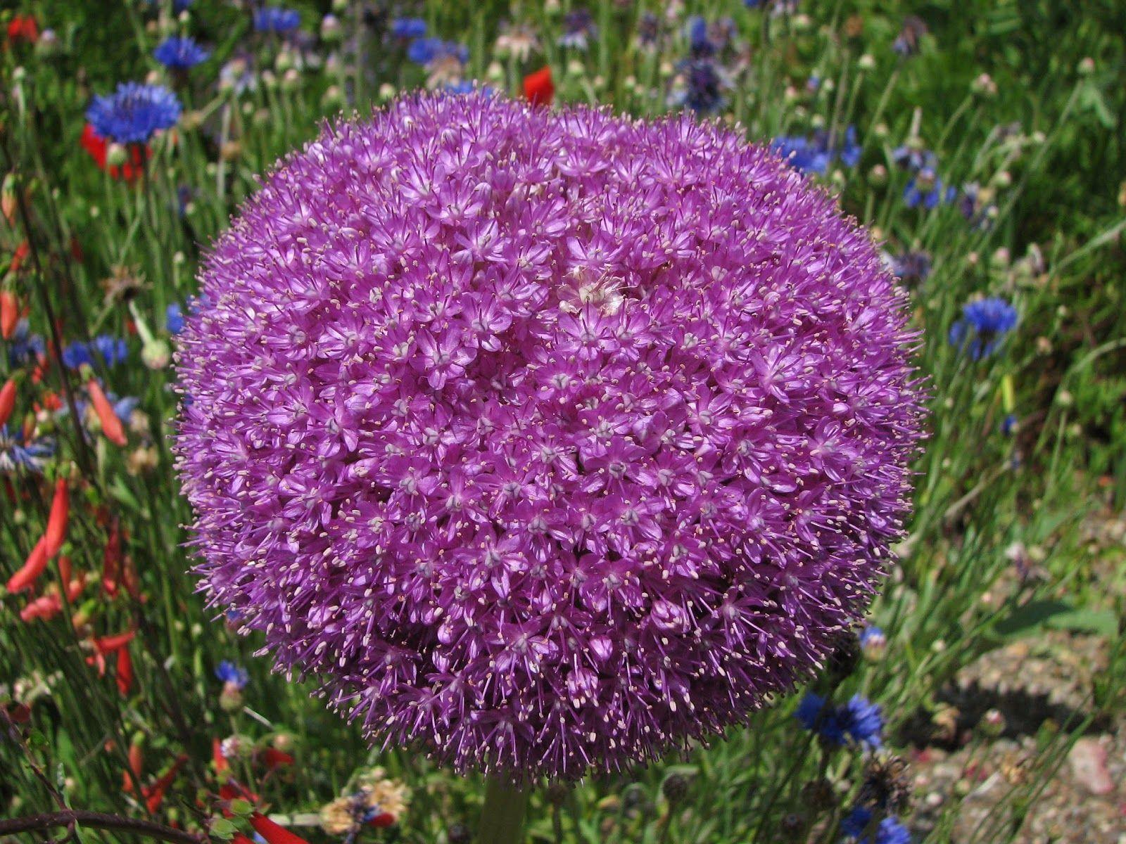 Allium Giganteum Flower Inspirational the Allium Giganteum Nature