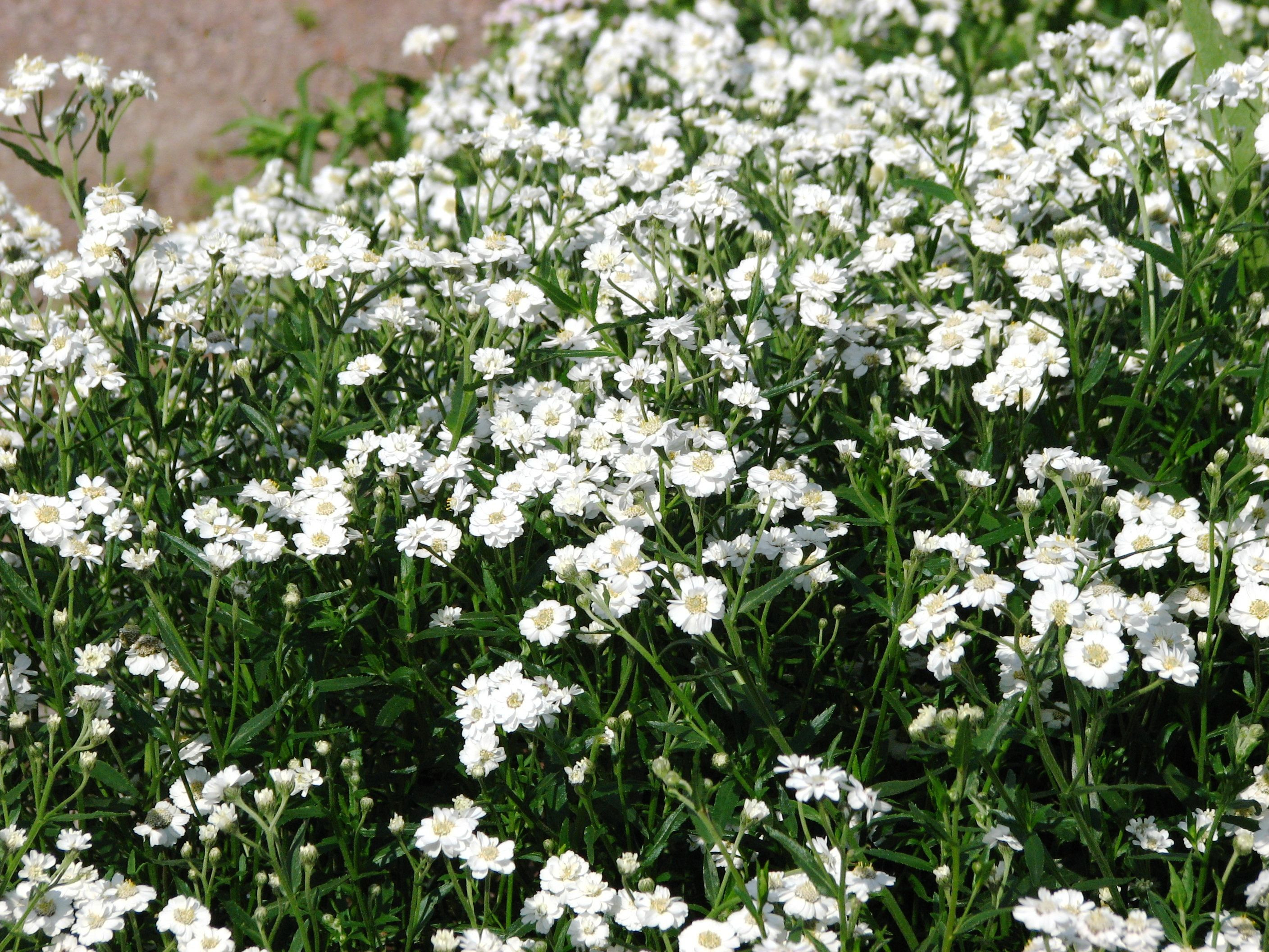 Carpet of Snow Flower Sweet Alyssum weet Alyssum wildflower or flower seed produce a fragrant low growing mass of flo…