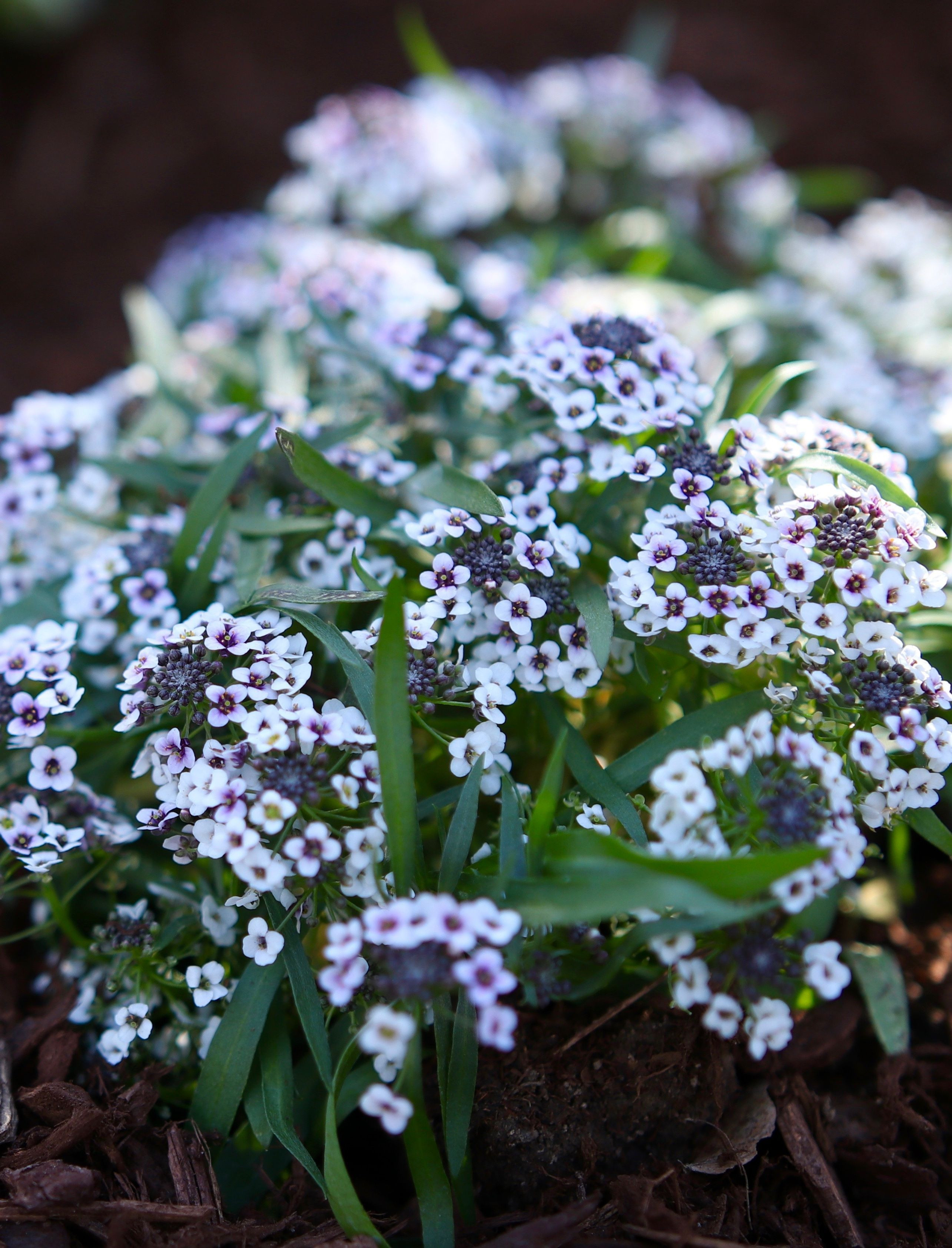 Blushing Princess sweet alyssum might look delicate but she is truly a beast when it