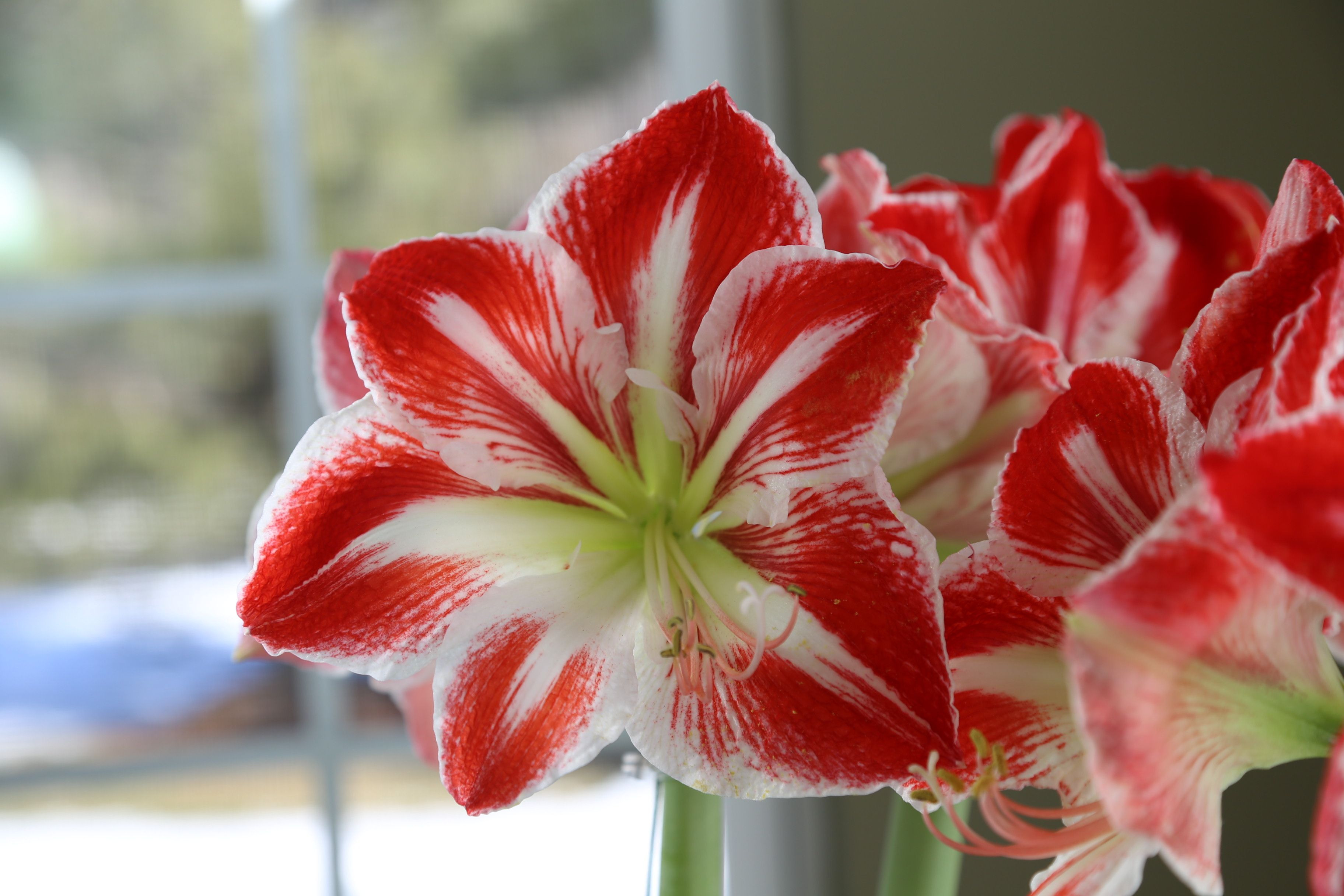 An amaryllis may be the easiest and most impressive plant you ll ever grow