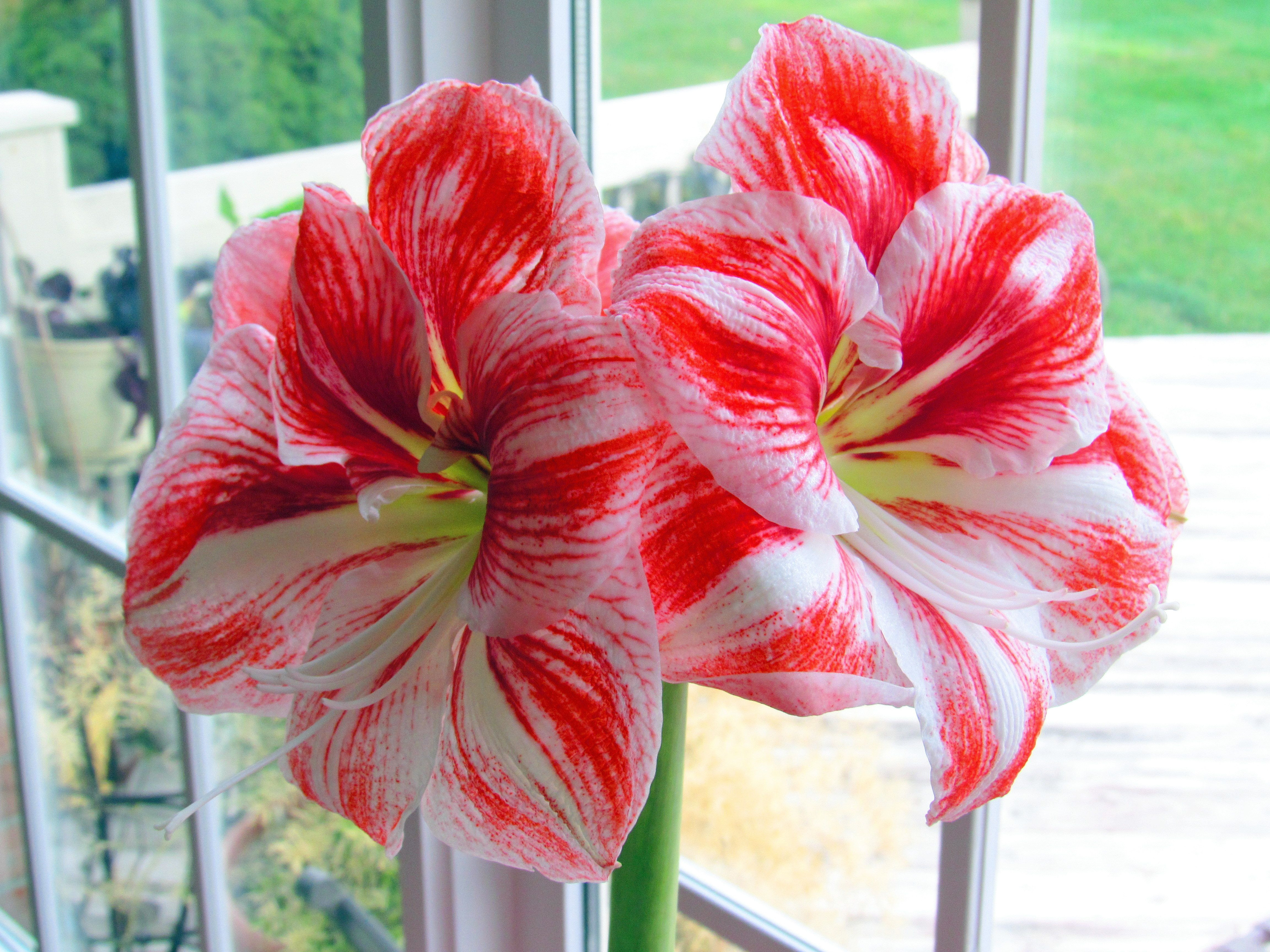 Pretty amaryllis e bulb was $7 at Walmart